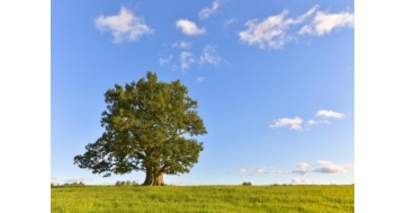 Kasvas kord üks tammepuu