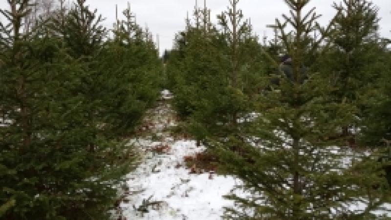 Meie pere toob jõulukuuse Eestimaa talu kuuseistandusest :-)